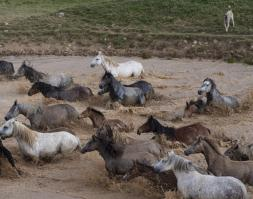 The Wild Horses of Livno